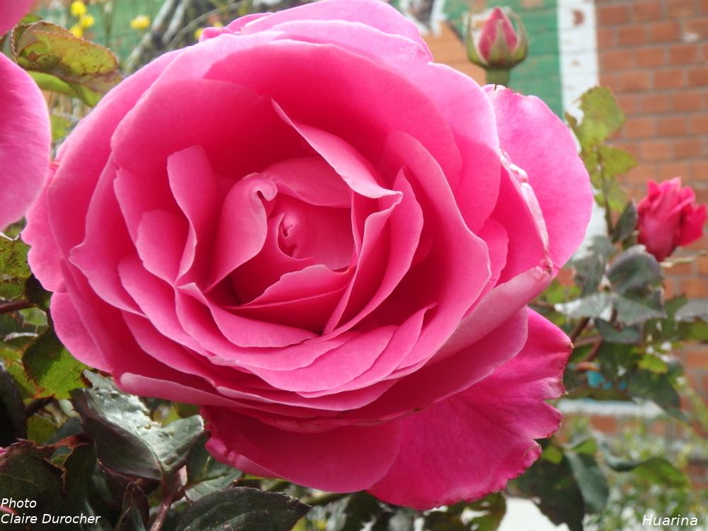 photo d'une rose