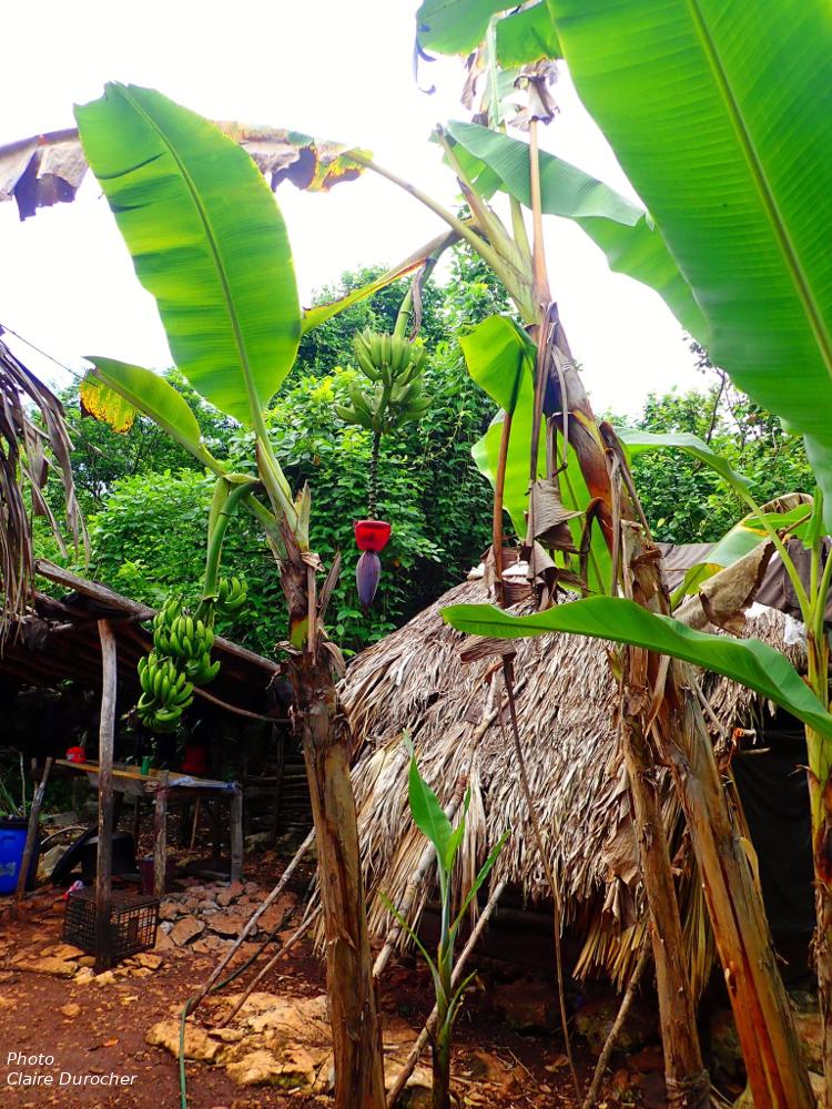 bananier près d'une hutte de chaume