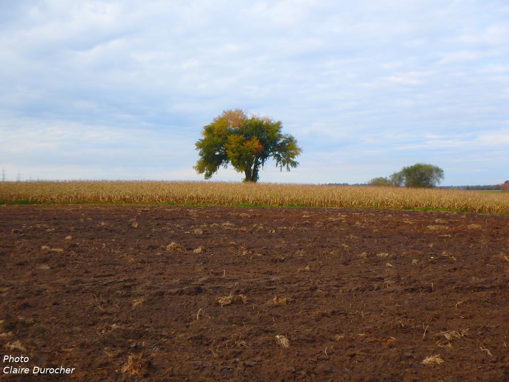 arbre mature au milieu d'un champ